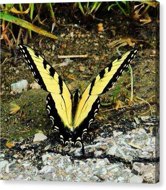Lucky Canvas Print - #butterfly #beauty #beautiful by Brooke Kozlowski