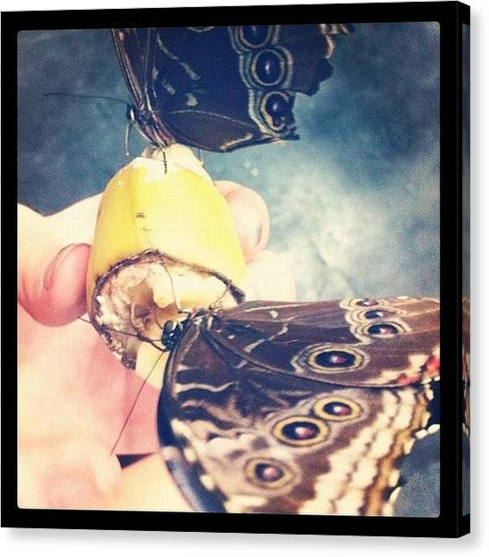 Bananas Canvas Print - #butterfly #bugs #banana #feeding by Sam Sana