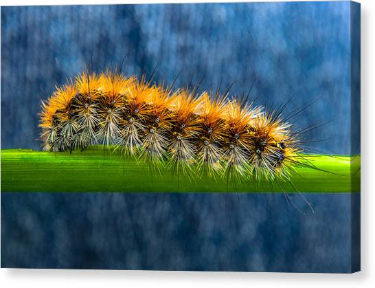 Butterfly Caterpillar Larva On The Stem Canvas Print