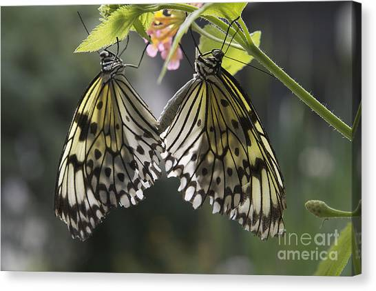 Butterfly Duo Canvas Print
