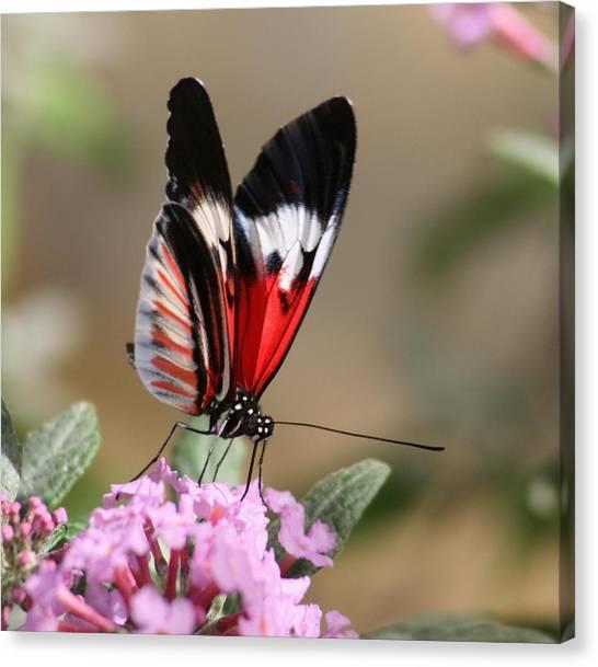 Butterfly Elegance Canvas Print by Valia Bradshaw
