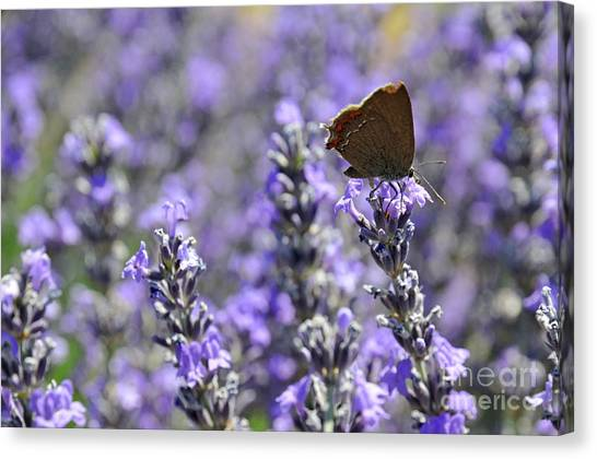 Butterfly Gathering Nectar From Lavender Flowers Canvas Print by Sami Sarkis
