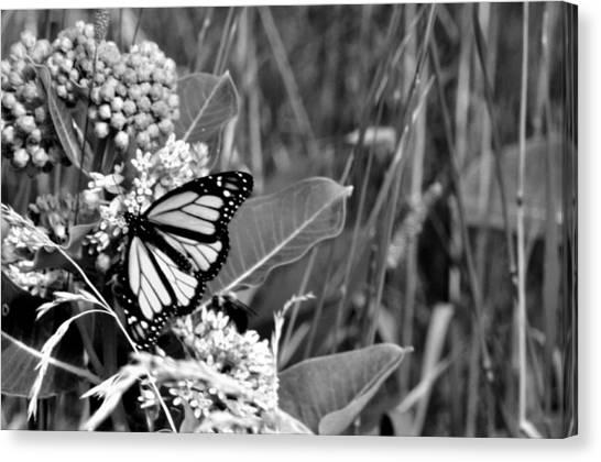 Butterfly In Black Canvas Print by Helen Haw