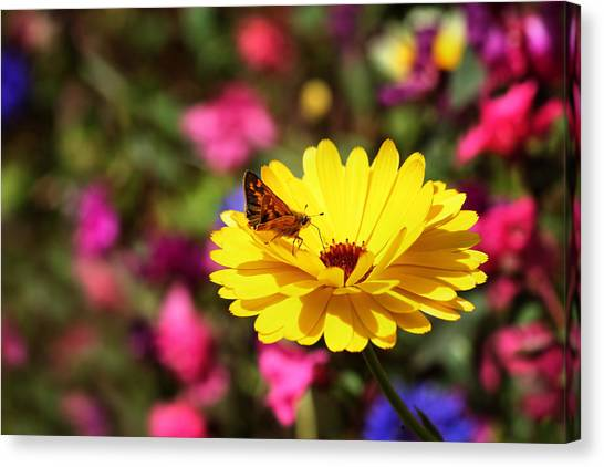 Butterfly Kissing Yellow Wildflower  Canvas Print