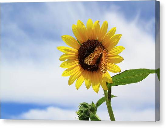 Butterfly On A Sunflower Canvas Print