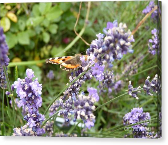 Butterfly On Lavendula Canvas Print