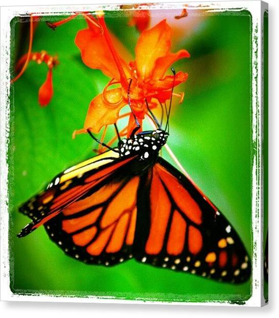 Colorful Canvas Print - #butterfly #pretty #colorful by Mandy Shupp
