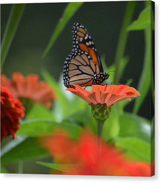 Jerseys Canvas Print - Butterfly Series - Monarch by Penni D'Aulerio