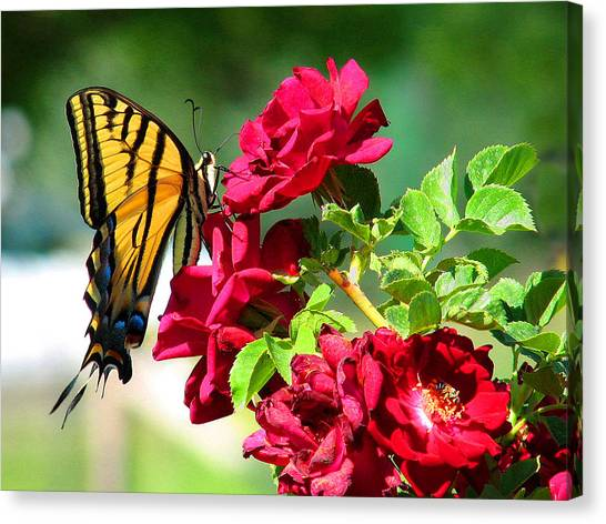 Butterflyrose Canvas Print
