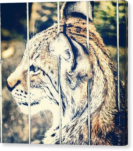 Tigers Canvas Print - Caged by San Gill