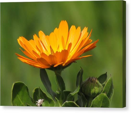 Calendula Bloom Canvas Print
