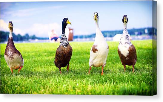 Calico Duck Quartet Canvas Print by Vicki Jauron