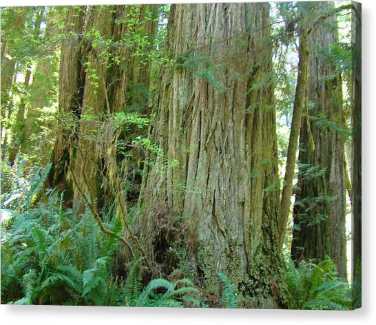Redwood Forest Canvas Print - Califorina Coastal Redwood Trees Art Prints by Baslee Troutman