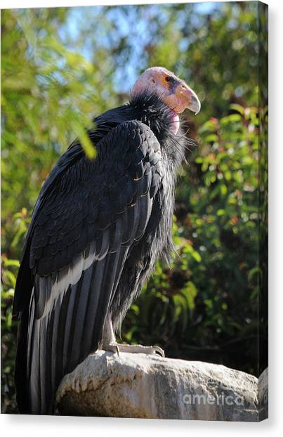 Condors Canvas Print - California Condor by Marc Bittan