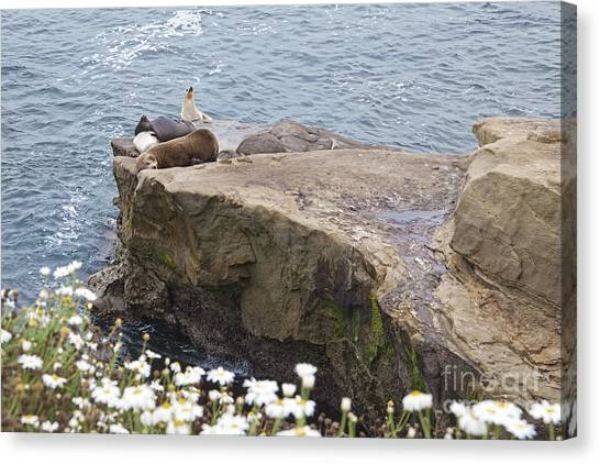 California Sea Lions Zalophus Californianus At La Jolla Shores Canvas Print by Sherry  Curry