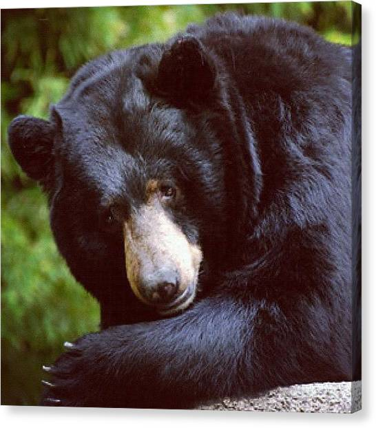 Bear Claws Canvas Print - #californian #black #bear by Michael Lynch