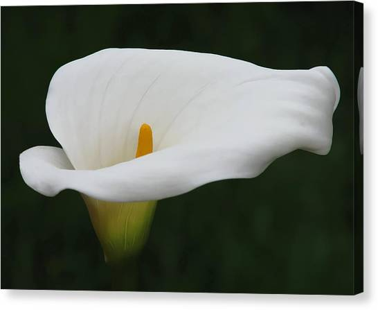 Calla Lilies Flowers Canvas Prints (Page #11 of 64) | Fine Art America