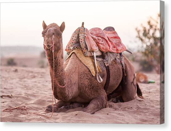 Thar Desert Canvas Print - Camel by Flash Parker