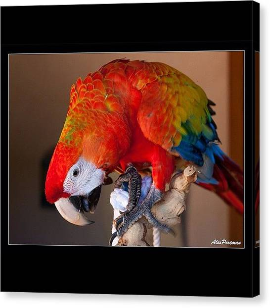 Parrots Canvas Print - Camelot Macaw #parrot #awesome #pets by Alex Portman
