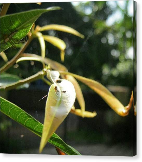 Mango Tree Canvas Print - Can Anyone Find The Spider In This by Avikshith Np