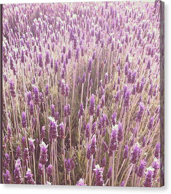 Lavender Canvas Print - Can You Just Smell The Sweet Lavender by Vicki Damato