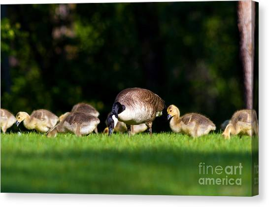 canada goose CARSON niskie