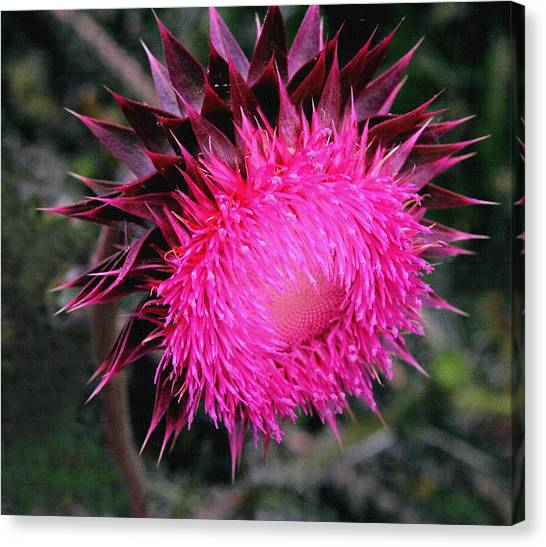 Canada Thistle Canvas Print