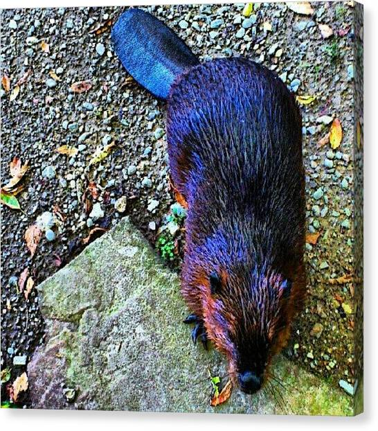 Beavers Canvas Print - Canadian Beaver.... #animal #beaver by Mr. B