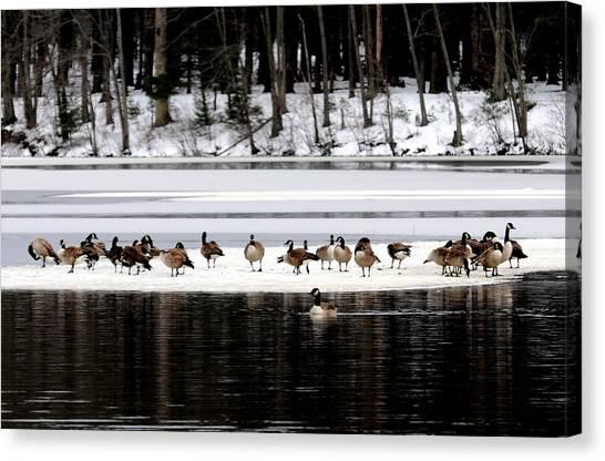 Canadian Gees At Farrington Lake Canvas Print