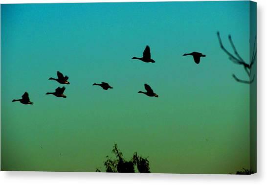 Canadian Geese In Flight Canvas Print by David Killian