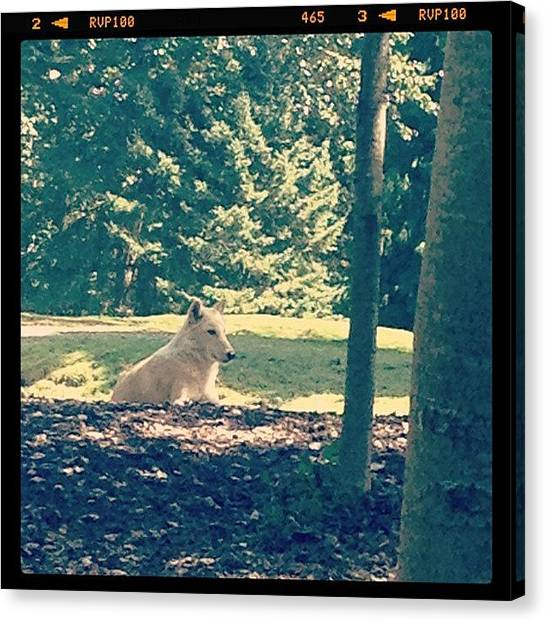 Wolves Canvas Print - Canis Lupus. #seattle #woodlandparkzoo by Ashley Brandt