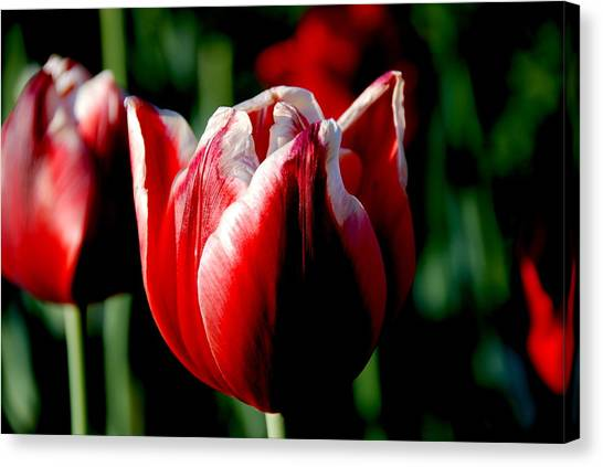 Capital Tulip Canvas Print by Christy Phillips
