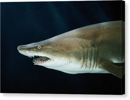 Tiger Sharks Canvas Print - Captive Sand Tiger Shark Odontaspis Sp by George Grall