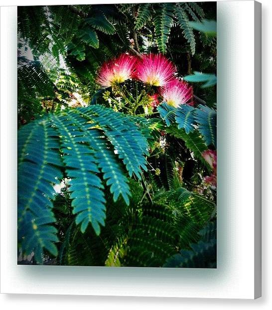 Mimosa Canvas Print - Captured This #radiant #mimosa #tree In by Debi Tenney