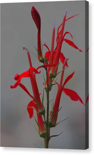 Cardinal Flower Canvas Print