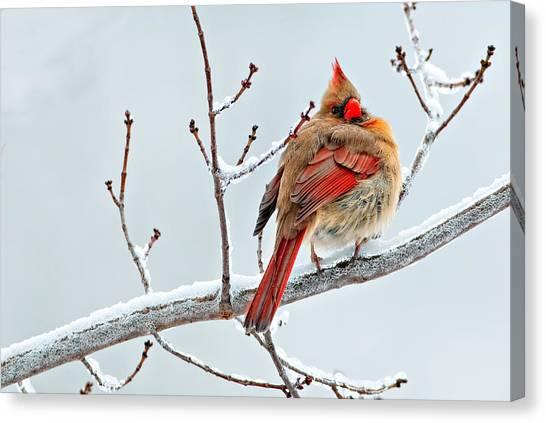 Cardinal I The Snow  Canvas Print