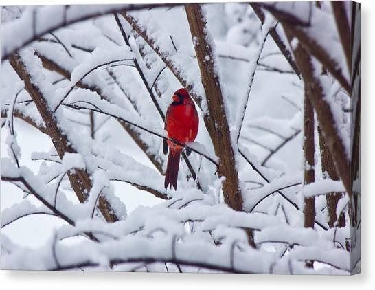 Cardinal In The Snow 2 Canvas Print by Barry Jones