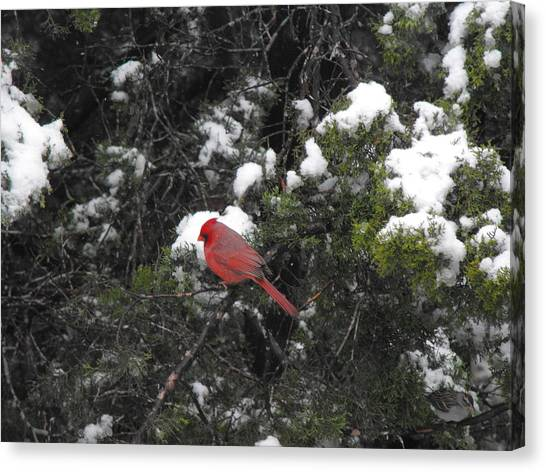 Cardinal In The Snow Canvas Print by Rebecca Cearley