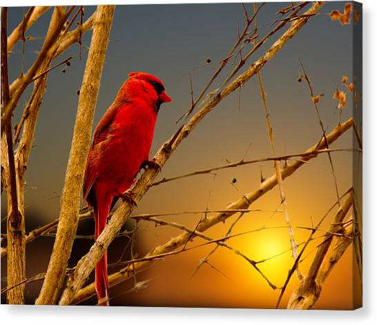 Cardinal Sunrise Canvas Print by Barry Jones