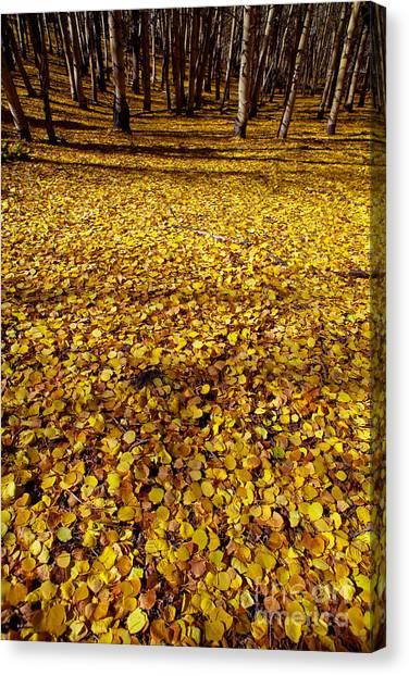Carpet Of Aspen Leaves Canvas Print