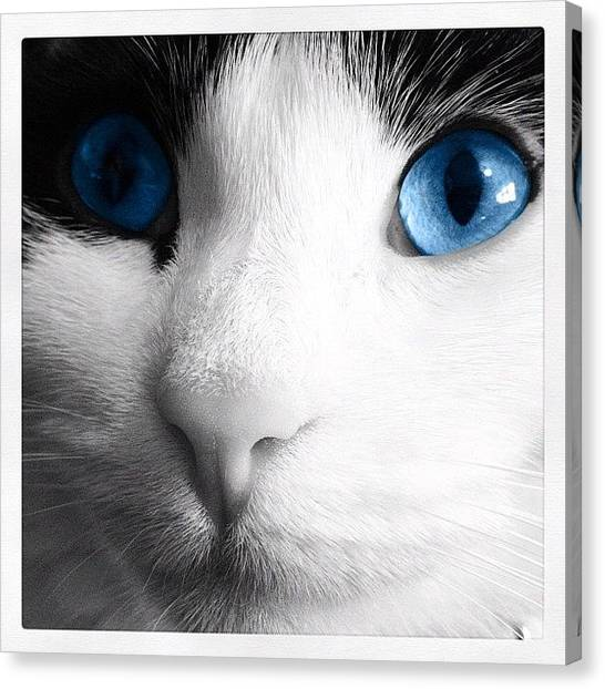 Tigers Canvas Print - Cat Blue Eyes by Rachel Williams