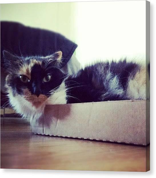 Pet Canvas Print - #cat #cardboardbox #pet #silly #animal by Mandy Shupp