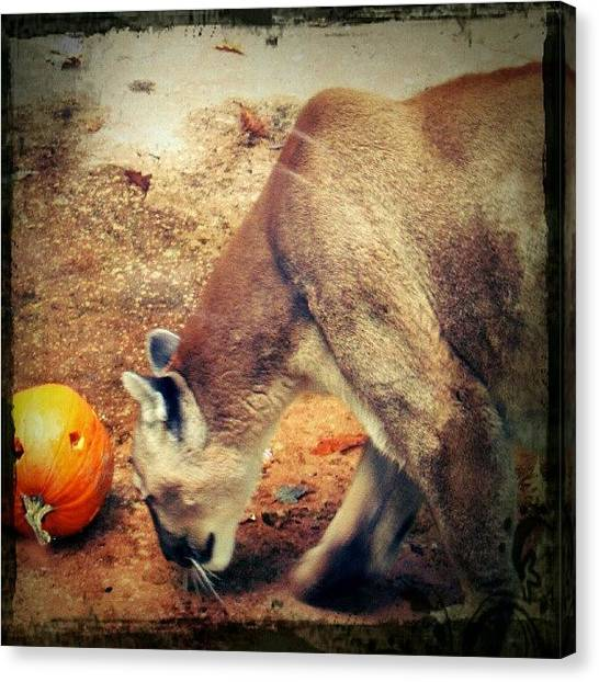 Pumpkins Canvas Print - #cat #cats #catsofinstagram #catagram by Luke R