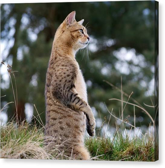 Egyptian Maus Canvas Print - Cat Impersonating Meerkat by Lisa Beattie