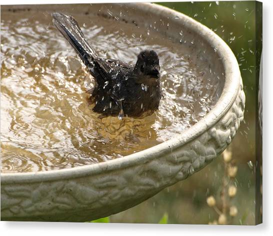 Catbird Bath - 2 Canvas Print