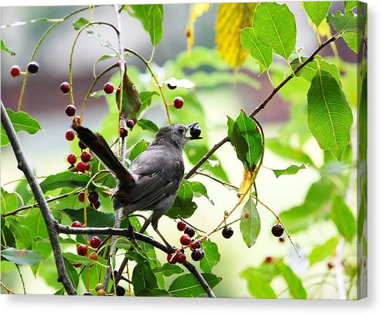 Catbird With Berry - Rear View Canvas Print