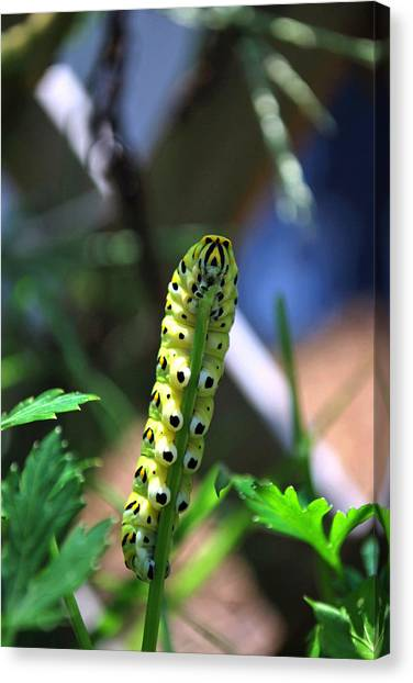 Caterpillers Canvas Print - Caterpiller by Charles Bacon Jr