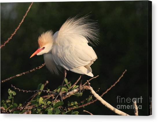 Cattle Egret Display Canvas Print