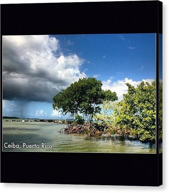 Mangrove Trees Canvas Print - #ceiba #puertorico #caribbean by Havito Nopal