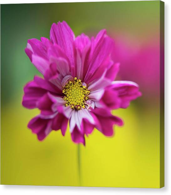 Cerise pink cosmos flower photograph by jacky parker photography cerise pink cosmos flower canvas print by jacky parker photography mightylinksfo Image collections
